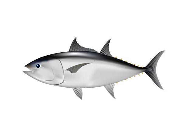 南方藍鰭鮪魚(印度鮪魚):Southern Bluefin Tuna
