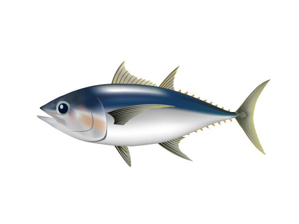 大眼鮪魚:Bigeye Tuna-2
