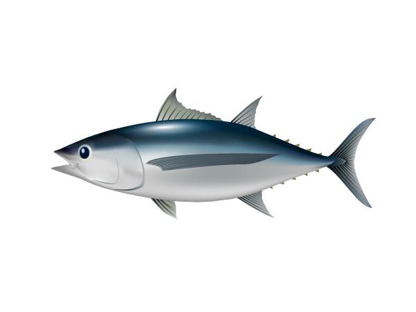 長鰭鮪魚:Albacore Tuna