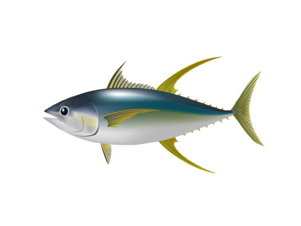 黃鰭鮪魚:Yellowfin Tuna